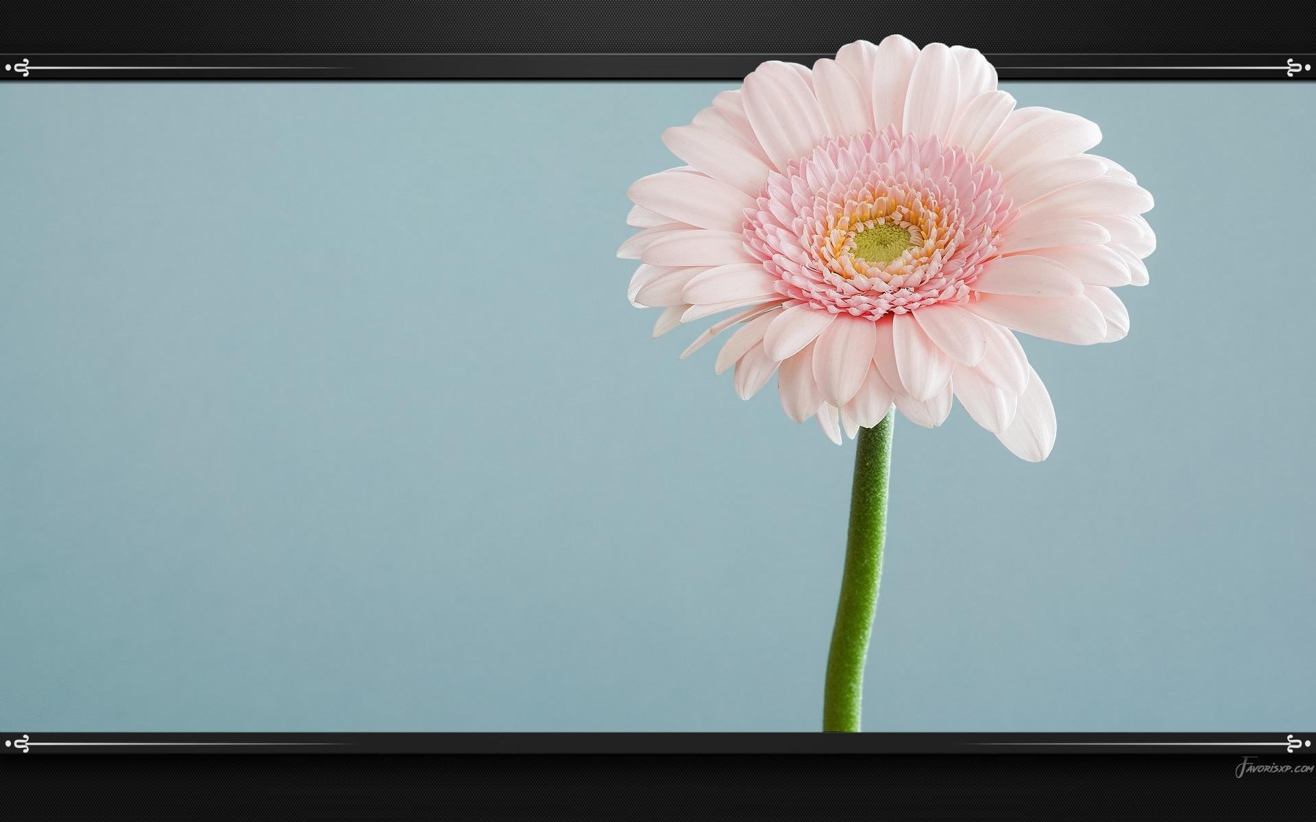 Fonds D Ecran De Fleurs Roses Telechargement Gratuit