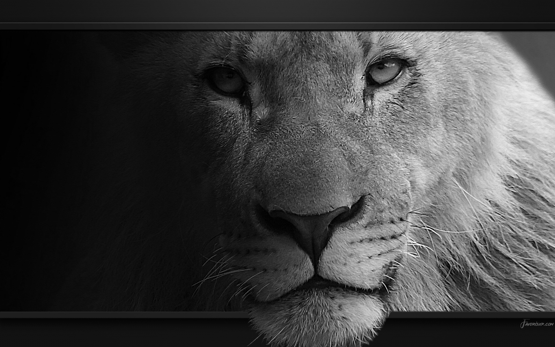 Fond D écran Lion Hty59 Napanonprofits